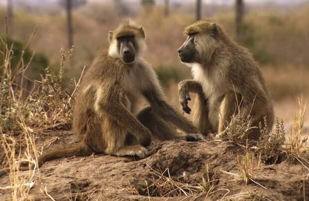 Видео: Как бабуины обманывают других животных, чтобы накормить голодных львов