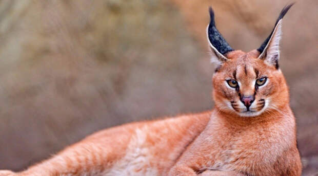 10 редких диких котов, о которых никто не слышал