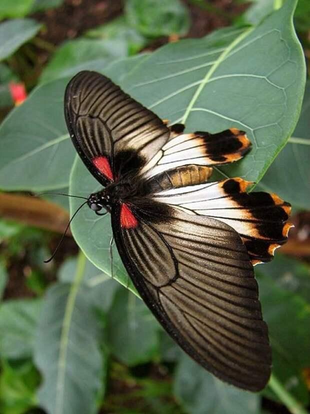 Calyptra eustrigata - хищники среди бабочек, они пьют кровь животных, которую добывают, прокалывая острым хоботком покровы животных. Хищниками являются только самцы.  бабочки, интересное, красота, насекомые