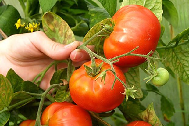 Картинки по запросу болезни томатов и их лечение