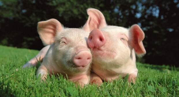 Свиньи и грызуны способны дышать через задний проход