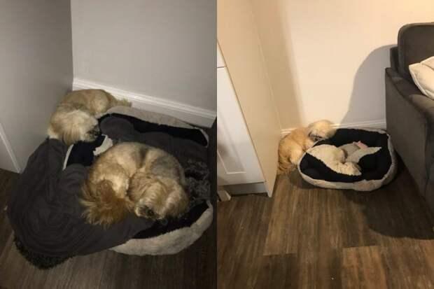 После гибели друга, пес Гарри продолжает уступать ему лучшее место