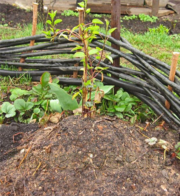 Рекомендации по выращиванию клематисов