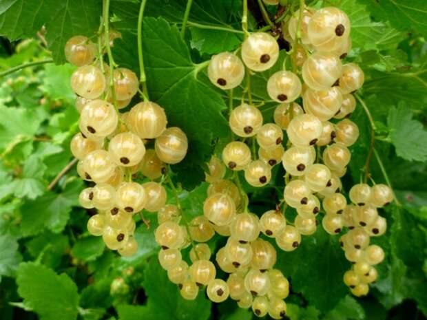 Осень – лучшее время для посадки смородины