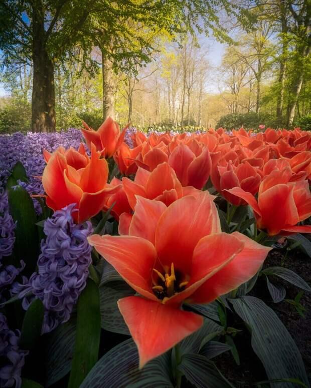 Как выглядит самый красивый парк тюльпанов Кёкенхоф без единого посетителя