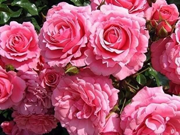 Укрываем розы. Мастер-класс
