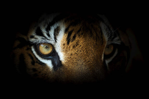Полиция Хьюстона нашла бродившего по городу тигра