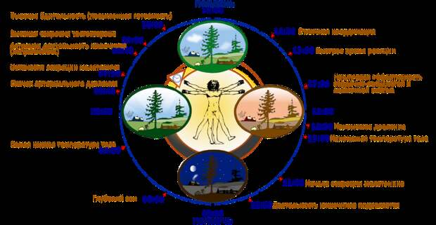 Суточные биоритмы и активность органов человеческого тела