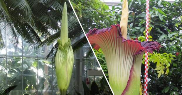 В Бельгии расцвел самый большой цветок на планете