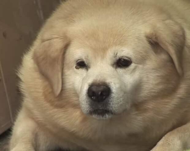 Пёс толстел, а люди думали, что всё дело в стрессе. Причина оказалась гораздо интереснее