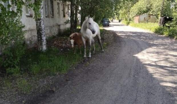 «Беспризорные» лошади пугают людей водном израйонов Петрозаводска