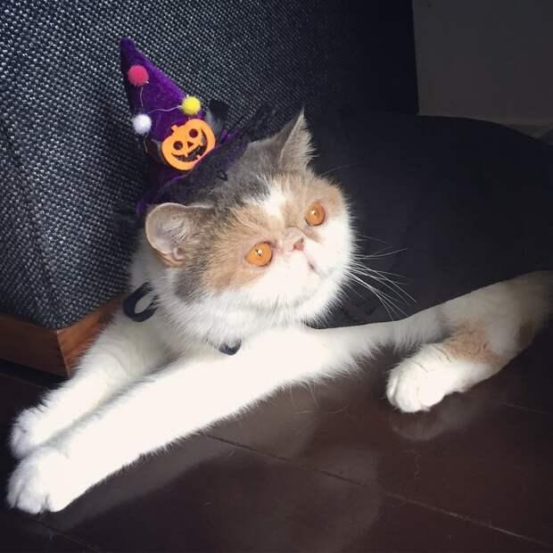 Подобно персидским кошкам данная порода славится своим спокойным характером Буона, Стиль, домашние питомцы, животные, кошка, милота