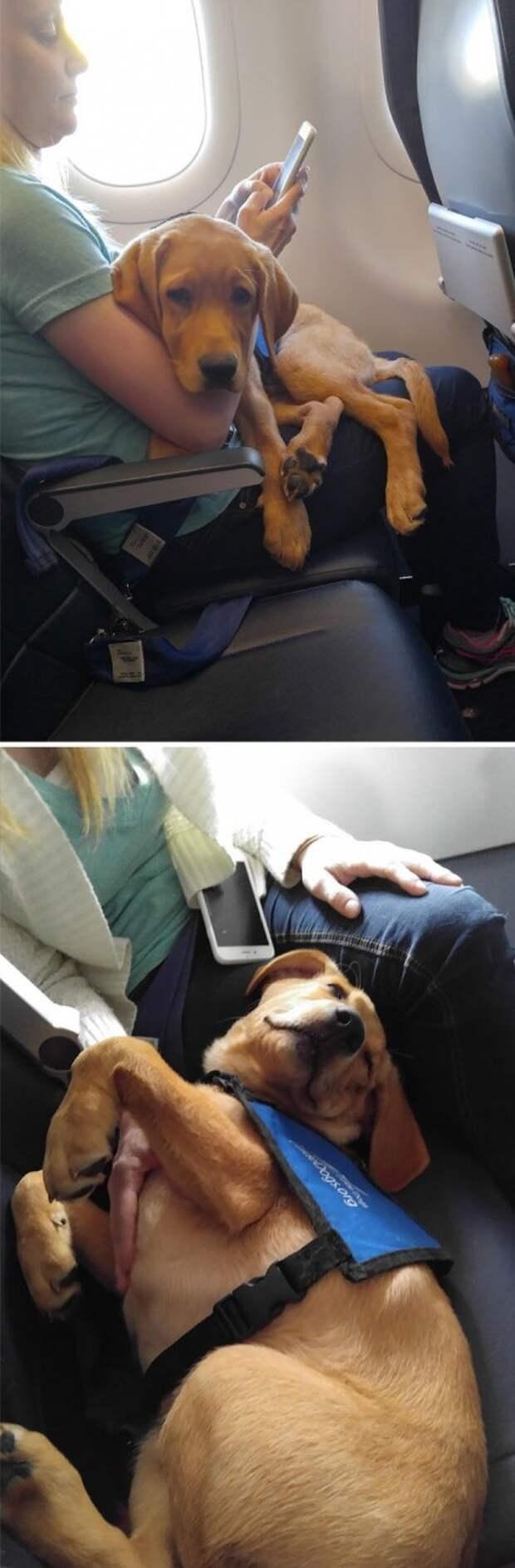 Самый спокойный пассажир животные, забавно, летайте самолетами, мило, пассажиры, самолет, собаки, хвостатые пассажиры