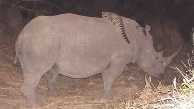 Покатай меня, большая носорожка!