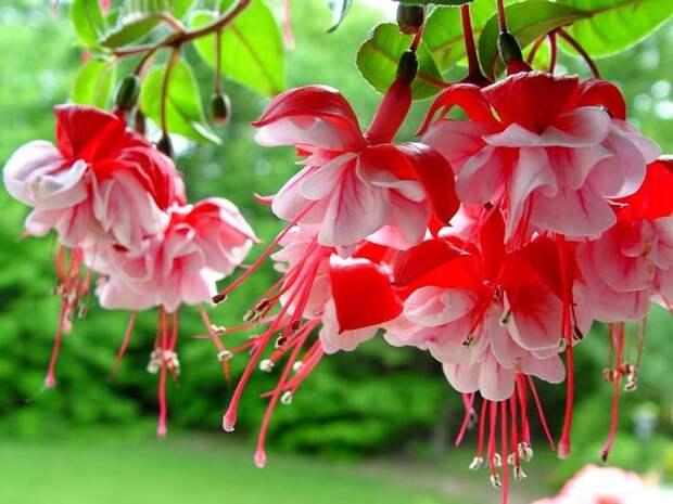 Фуксия - цветок эльфов Цветы, Дача, Сад, Растения, Длиннопост