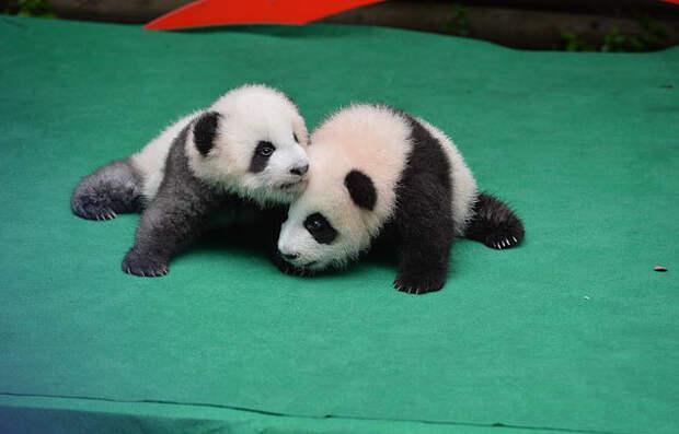 А Вы когда-нибудь видели как панда убаюкивает детёныша?