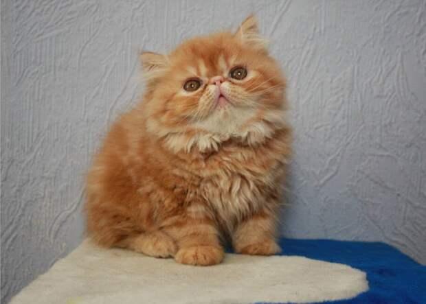 Взять котенка из неблагополучной семьи: Маркиза Ангелов