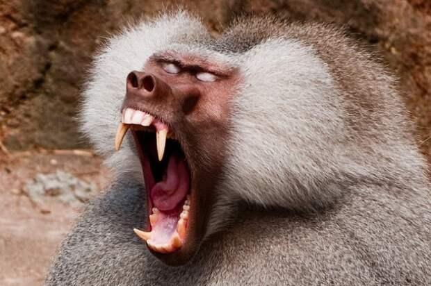 baboon-e1380733457473