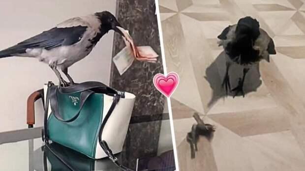 Верная и умная ворона отдаёт хозяйке деньги мужа, ловко стащив их из его кармана