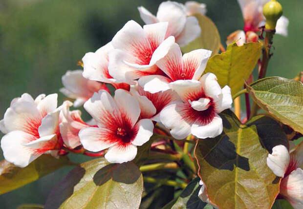 "Так красиво цветет ""тунга"""
