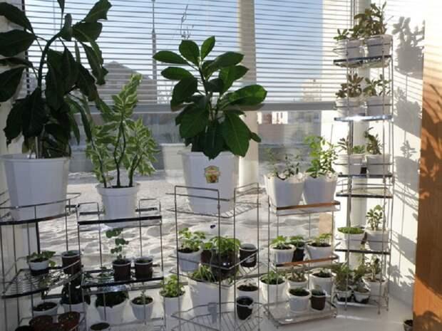 ядовитые комнатные растения список