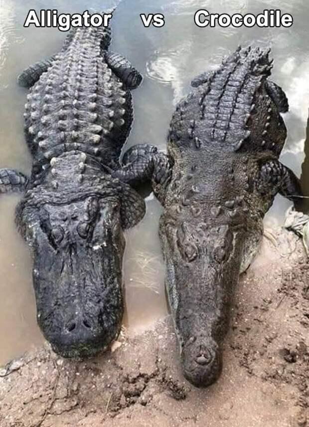 Разница аллигатора и крокодила