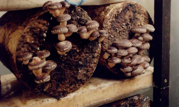 грибница шиитаки