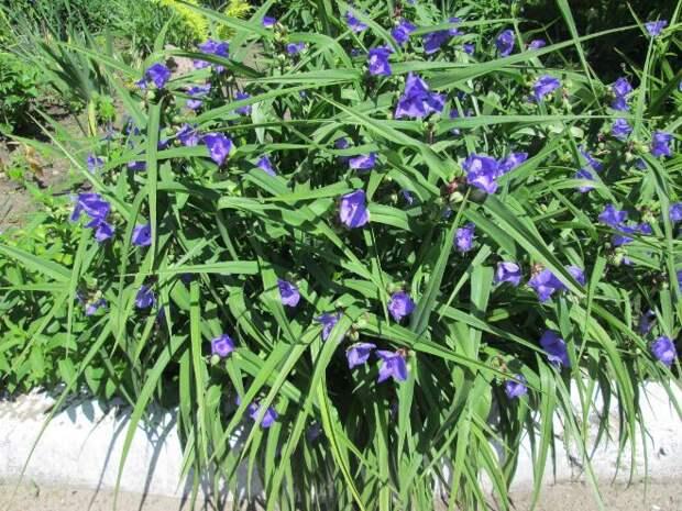 Традесканция садовая: как правильно выращивать популярное растение (35 фото)