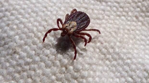 Эпидемиолог рассказала, как не пострадать от укусов клещей