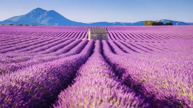 Изумительные фотографии лавандовых полей Франции