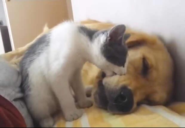 Вот, что происходит, когда котенок просыпается раньше, чем его большой и лохматый друг