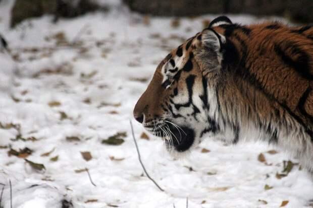 «Неуловимый» тигр нападает на собак в Приморье