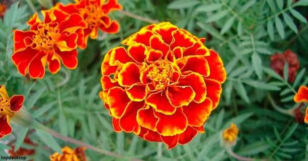 Эти золотые цветы лечат желудок, печень и зрение! Вот как заваривать из них чай