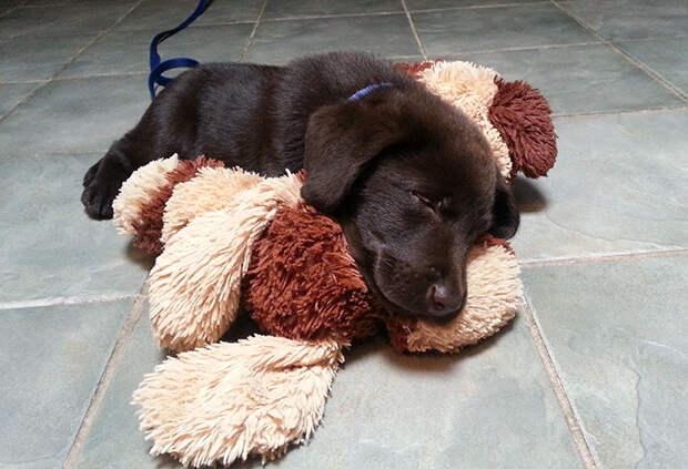 Шоколадный щенок родился с «волчьей пастью», но ветеринар спасла его от усыпления