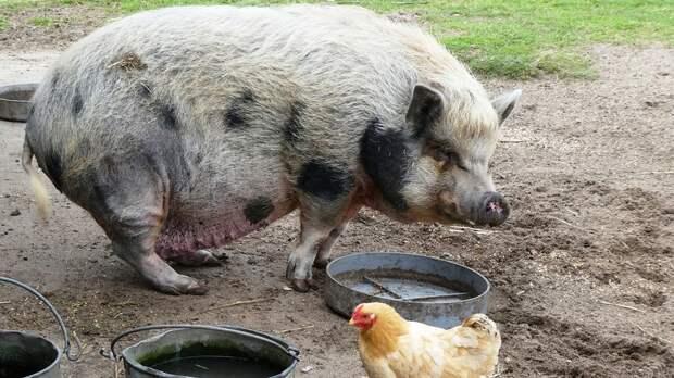Выпускавшего свиней напрогулку фермера оштрафуют вРостовской области