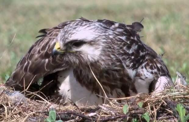 В Арктике построят искусственные гнезда для хищных птиц