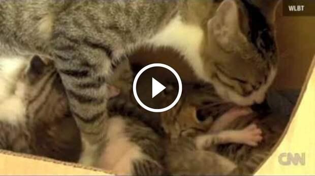 Бельчонок, воспитанный кошкой, мурлычет
