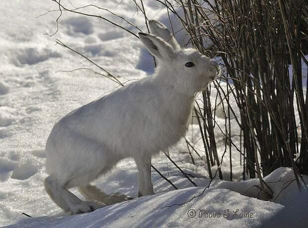 Что делать, если яблоню погрызли зайцы!