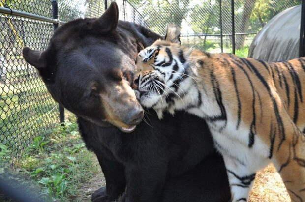 Невероятная дружба трех хищников