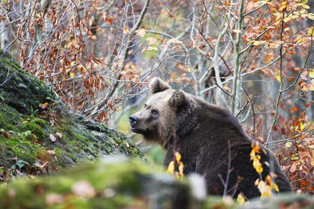 Медведь атаковал грибника в Подмосковье