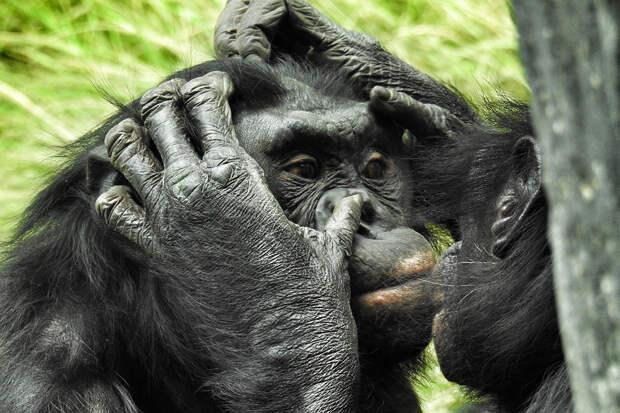 Молодые самцы шимпанзе остаются маменькиными сынками