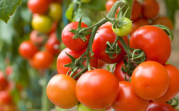 10 ошибок при выращивании томатов