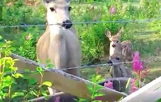 «Спасибо вам!» Благодарная олениха вернулась к спасателям, чтобы показать своих детей…