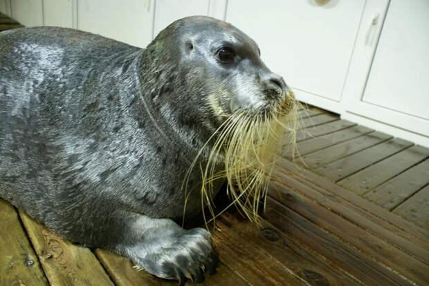 Морской заяц: 40% жира и 60% обаяния. Настолько полный, что народы Севера назвали его «жирным»