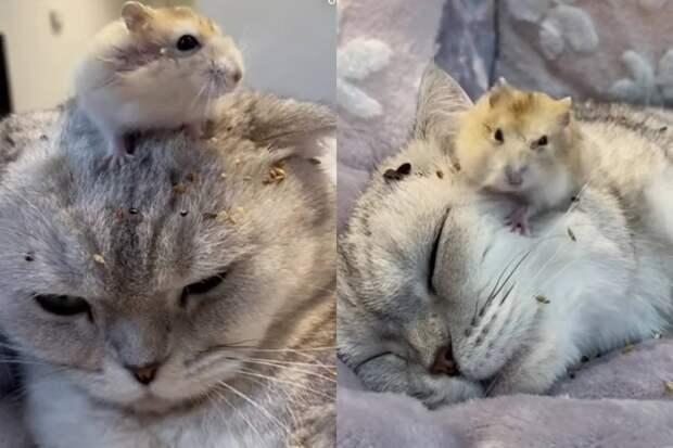 Наглый хомяк показал спокойной кошке, кто в доме главный