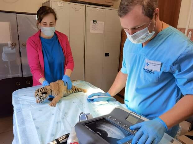 Фото дня: Бенгальские тигрята впервые прошли ветосмотр в нижегородском зоопарке