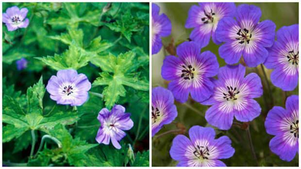 Герань Валлиха, общий вид. Фото с сайта www.rhs.org.uk. Цветки крупным планом. Фото с сайта www.crocus.co.uk