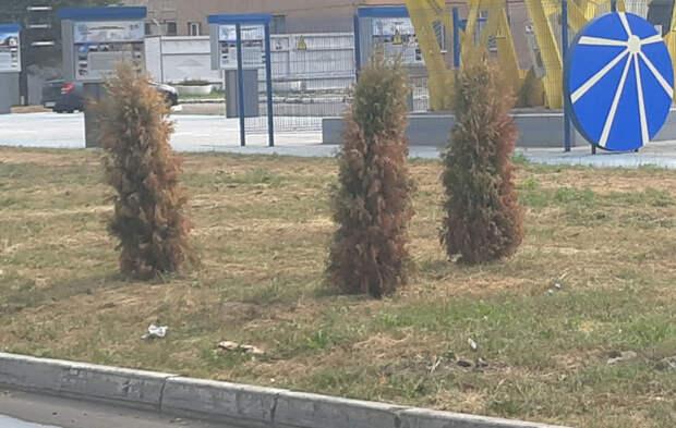 В Рязани туи рядом с ЛЭП в виде парашюта по-прежнему находятся в плачевном состоянии
