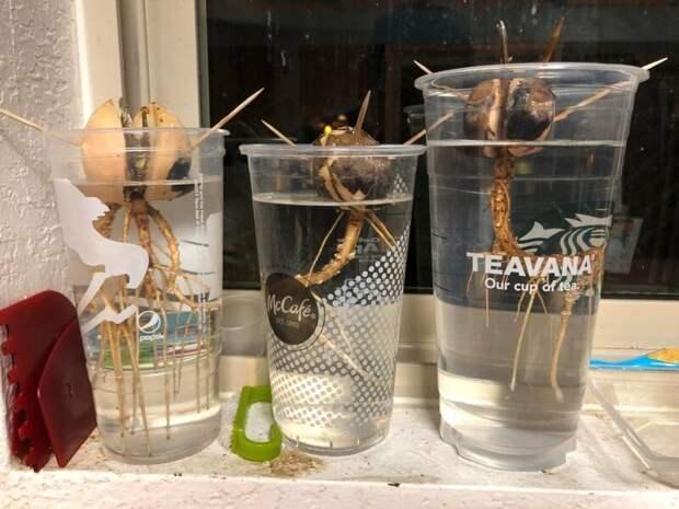 8. «Семена авокадо, которые выращивает моя жена, выглядят как пришельцы в воде» в мире, подборка, природа, удивительно, фото