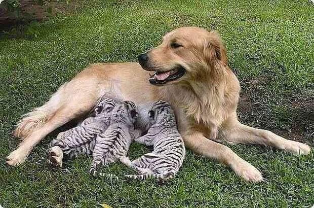 Животные, которых усыновили животные других видов животные, жизнь, фото